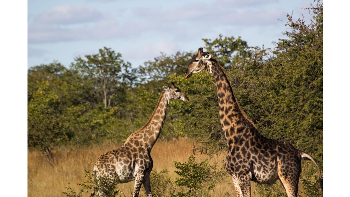 le A de girafe