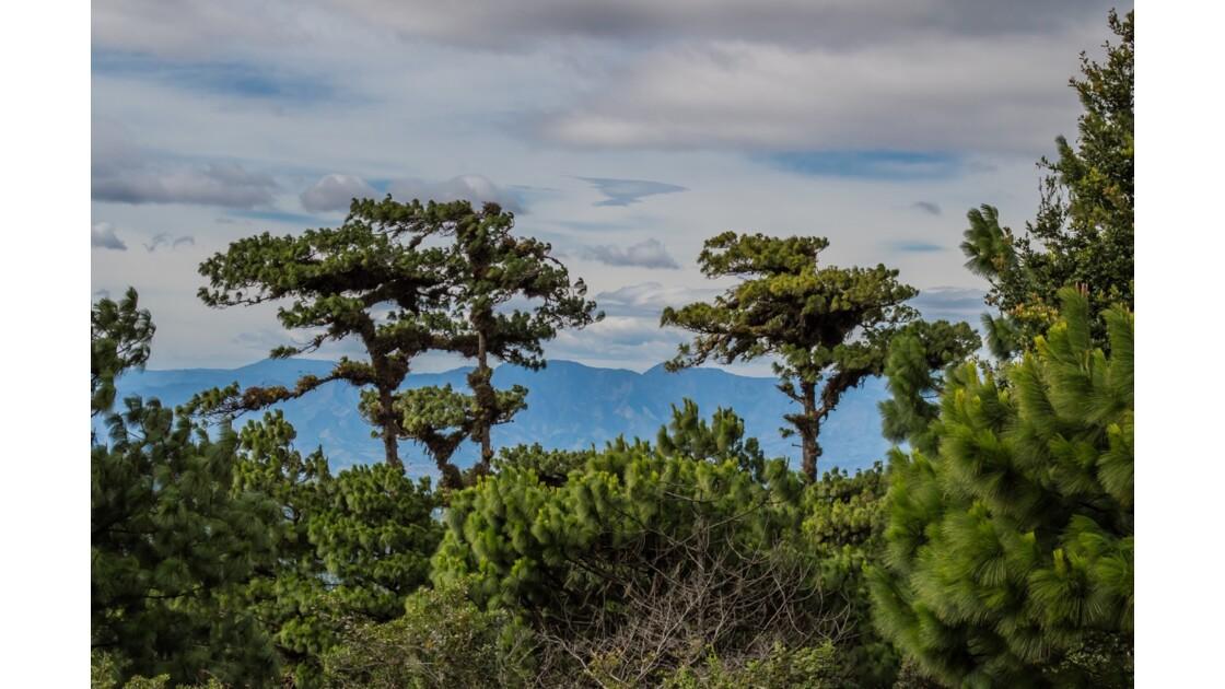 Les pins du Nicaragua