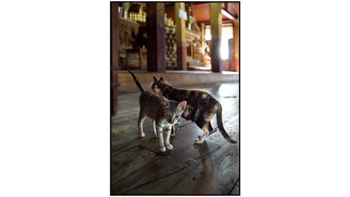 Lac Inlé - Les chats de Nga Phe Kyaung