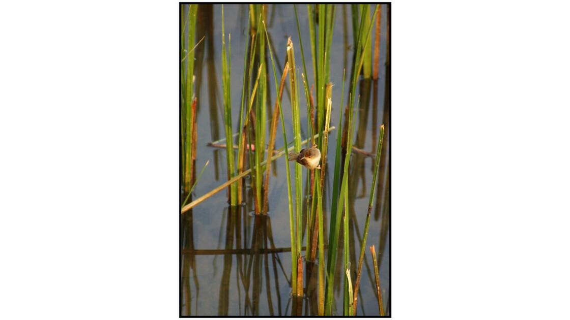 Lac Inlé - Pouillot brun