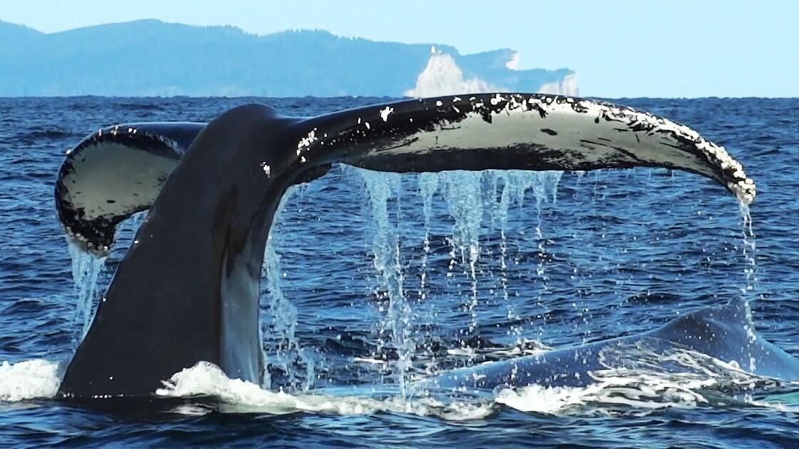 canada percé baleine