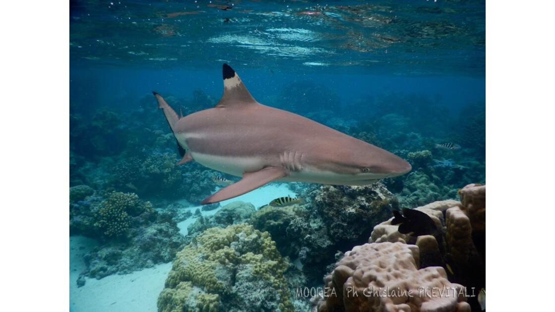 Requin pointe noir