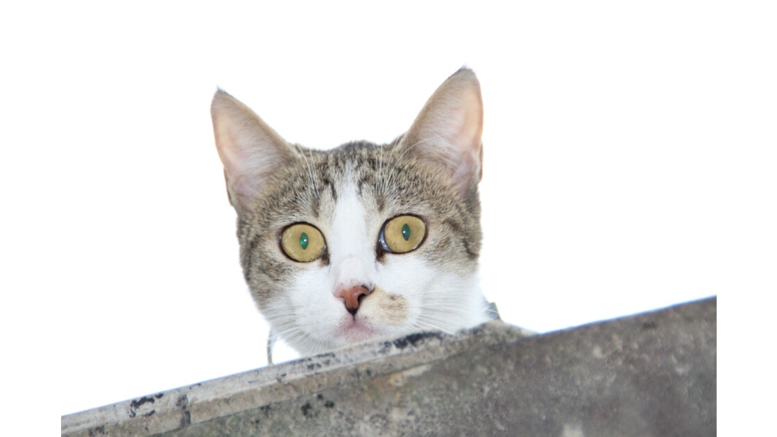 Le chat de gouttière/ haute corse