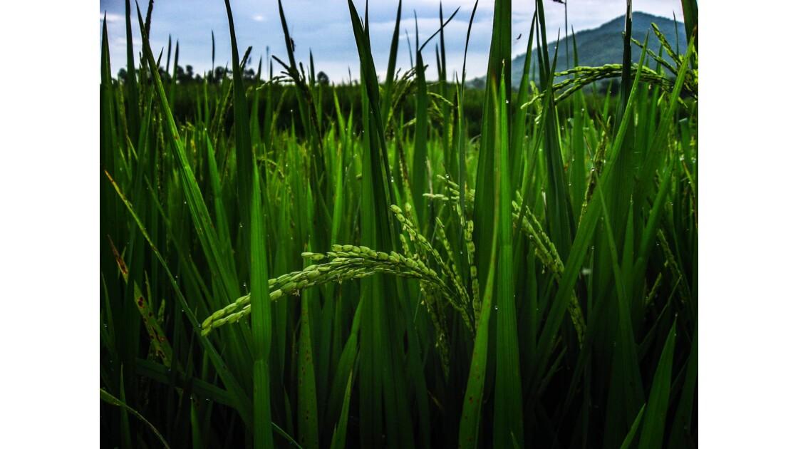 Épis de riz - Doc Cun