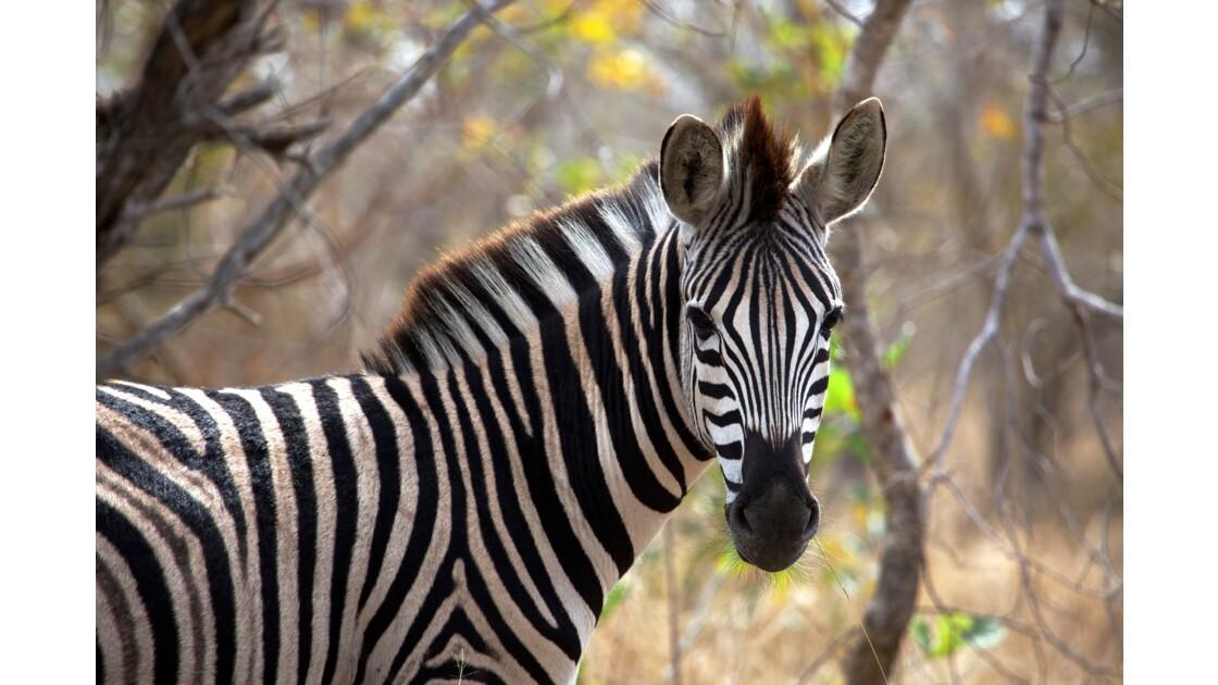 Zebra, Kruger
