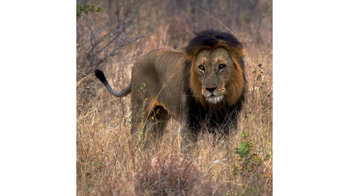 Triste lion