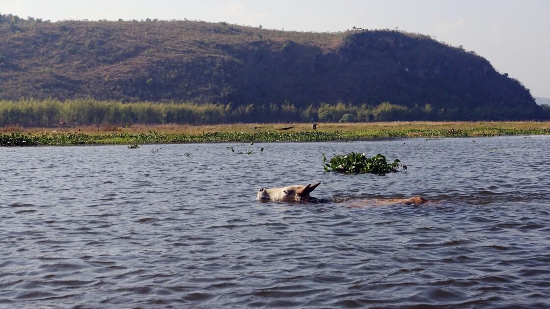 Myanmar Canal entre le lac Sagar et le lac Inlé les buffles 1