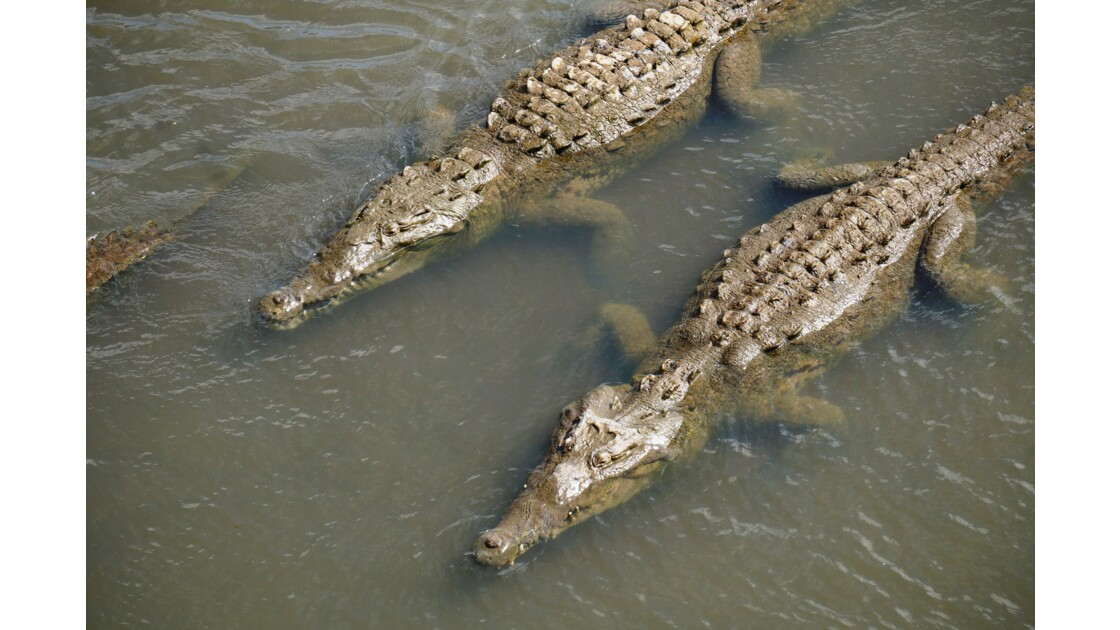 crocrodile costa rica