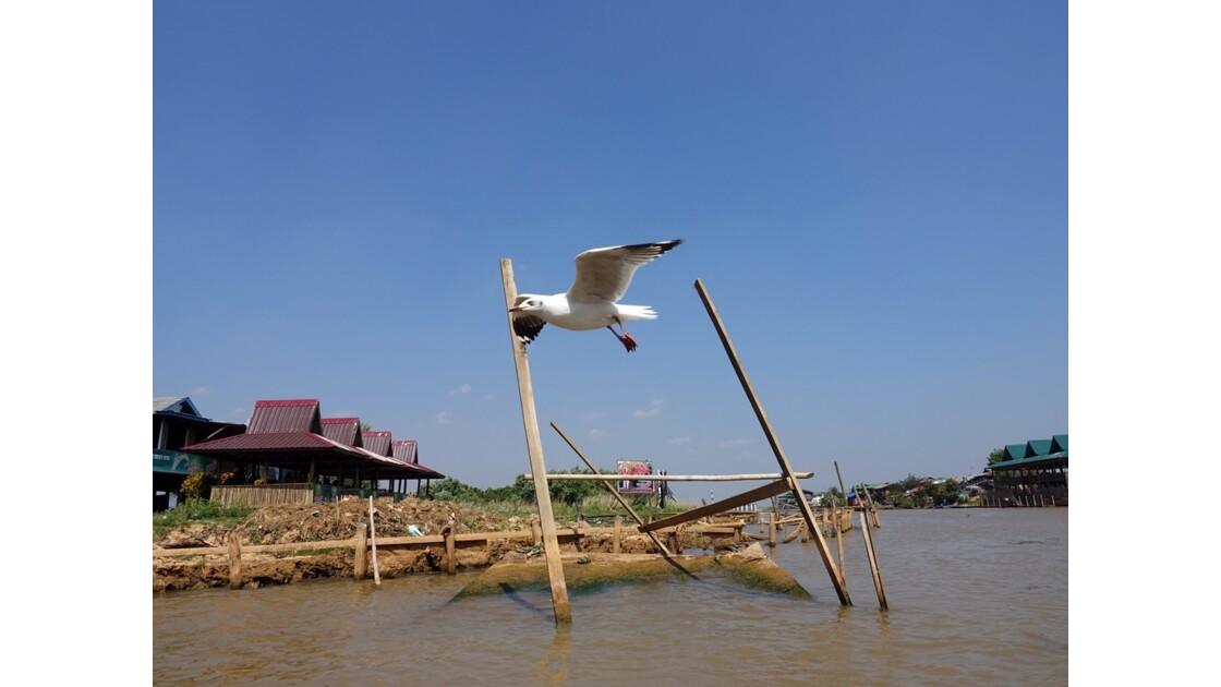 Myanmar Lac Inlé Les mouettes de la Pagode Phaung Daw Oo 5