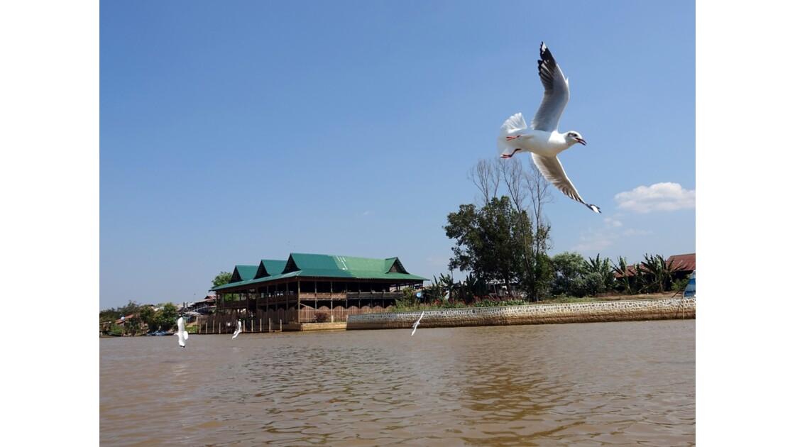 Myanmar Lac Inlé Les mouettes de la Pagode Phaung Daw Oo 7