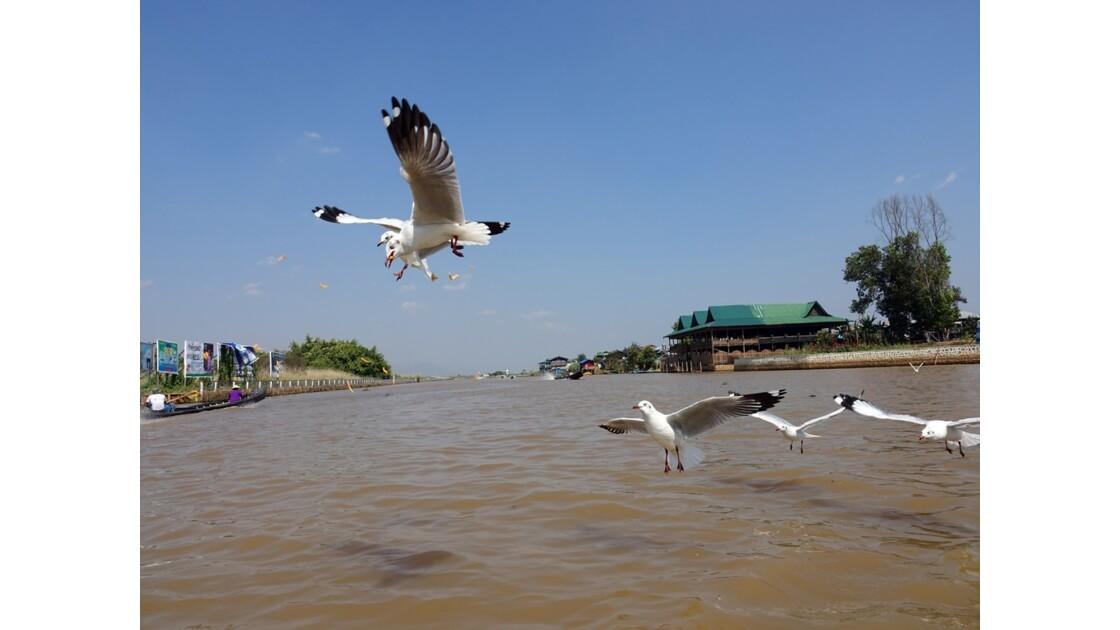 Myanmar Lac Inlé Les mouettes de la Pagode Phaung Daw Oo 1