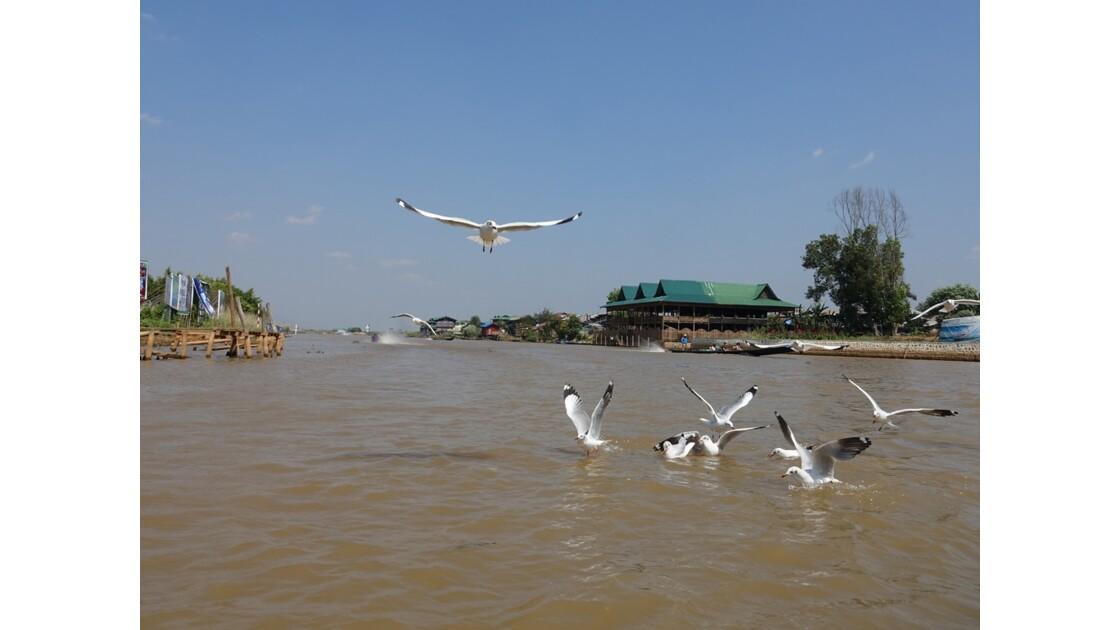 Myanmar Lac Inlé Les mouettes de la Pagode Phaung Daw Oo 3