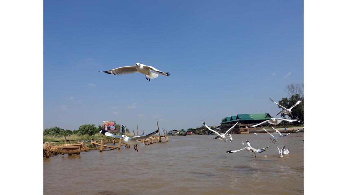 Myanmar Lac Inlé Les mouettes de la Pagode Phaung Daw Oo 4