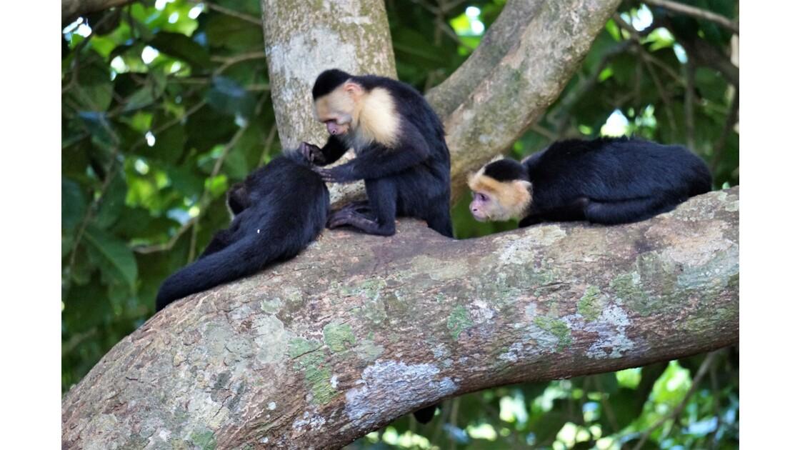 Singes capucins costa rica