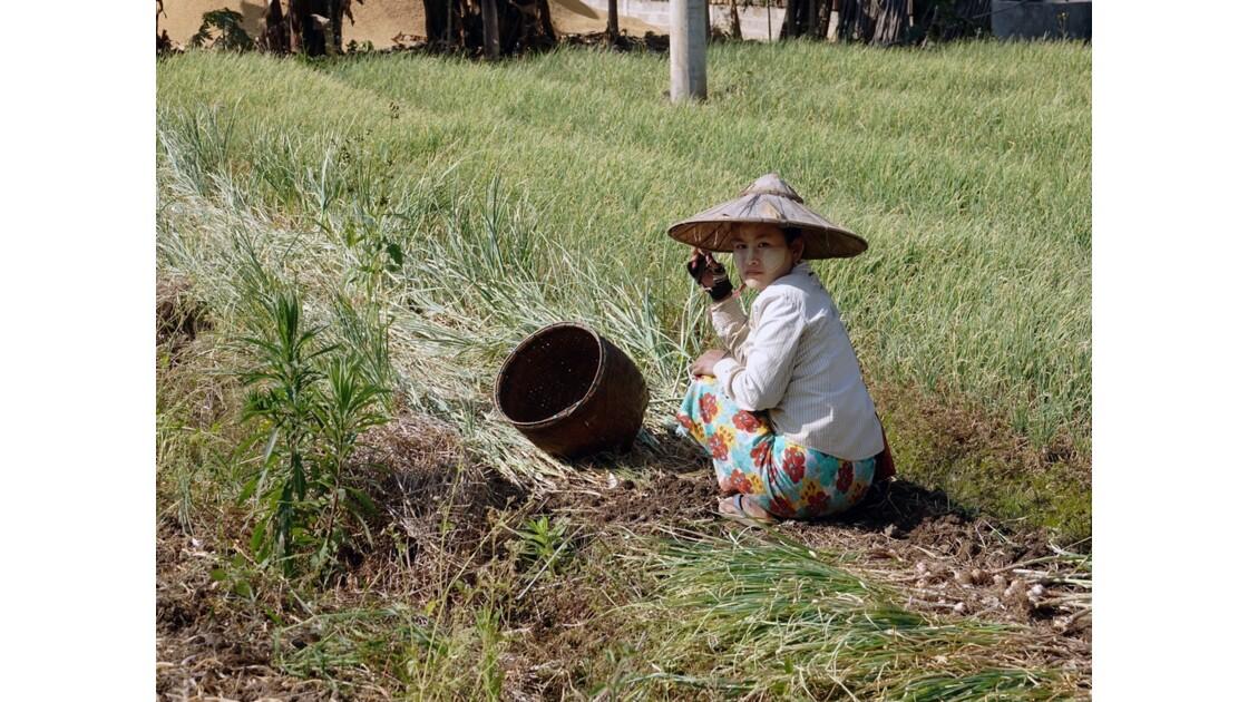 Myanmar Cultures d'ail près du village de Tale-U 1