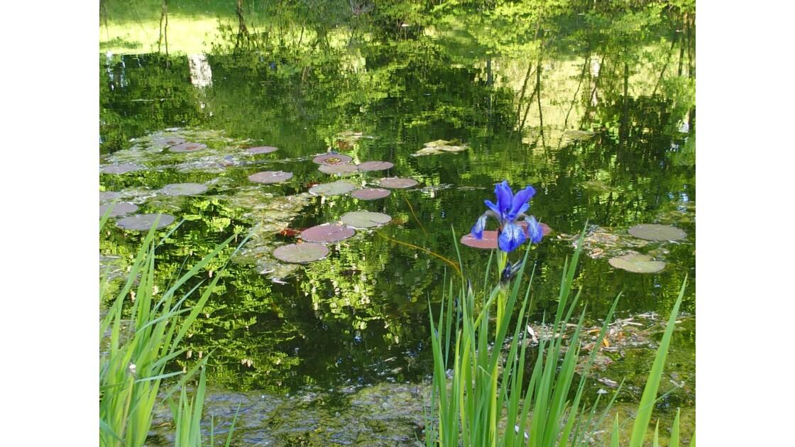 Iris au jardin de la Citadelle
