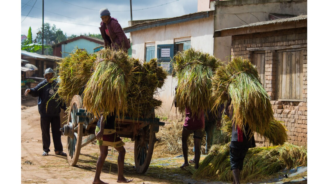 Les charrettes à zébus, moyen de transport précieux