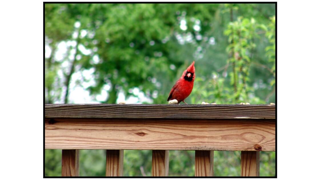 Knoxville, TN - Cardinal rouge (cardinalis cardinalis)