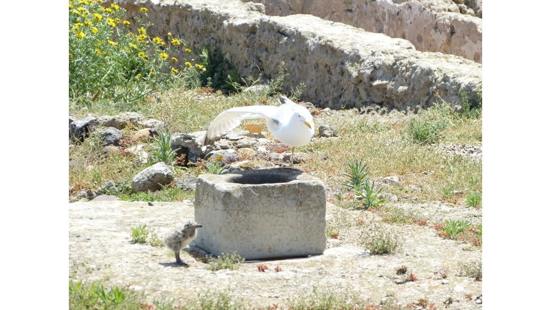 Mouettes en Sardaigne