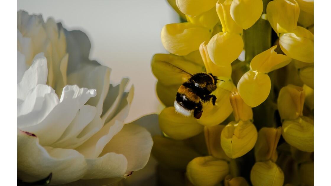 Le temps des fleurs.. et de la pollinisation !