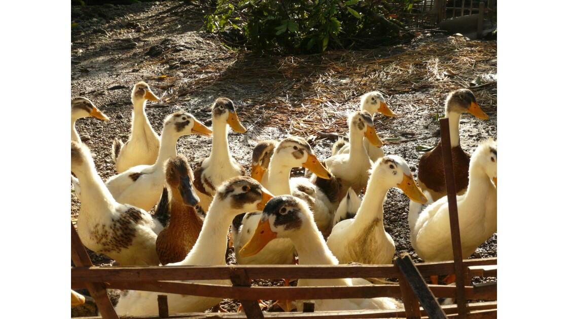 Les canards de Mai Chau