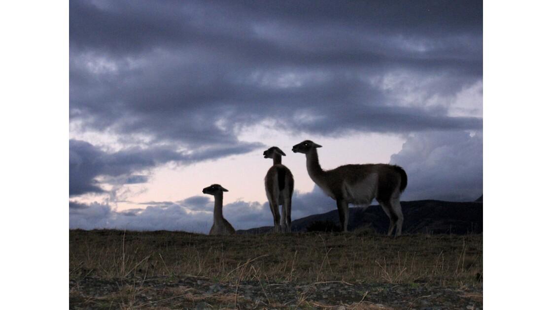 Les guanaco de Patagonie