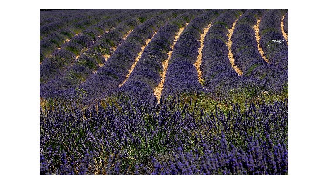 champs de lavandes Valensole