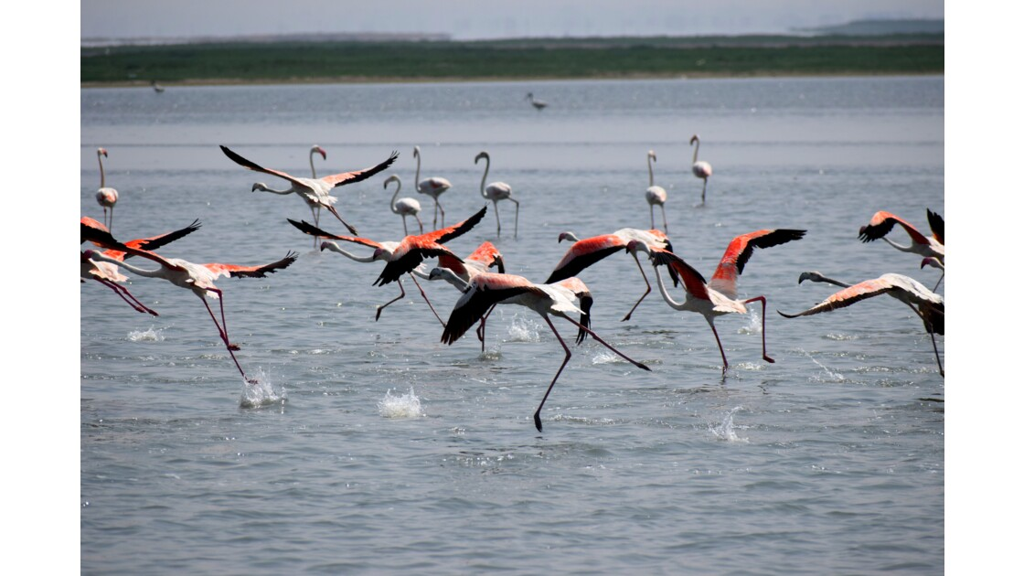 Flamingos of Chilika