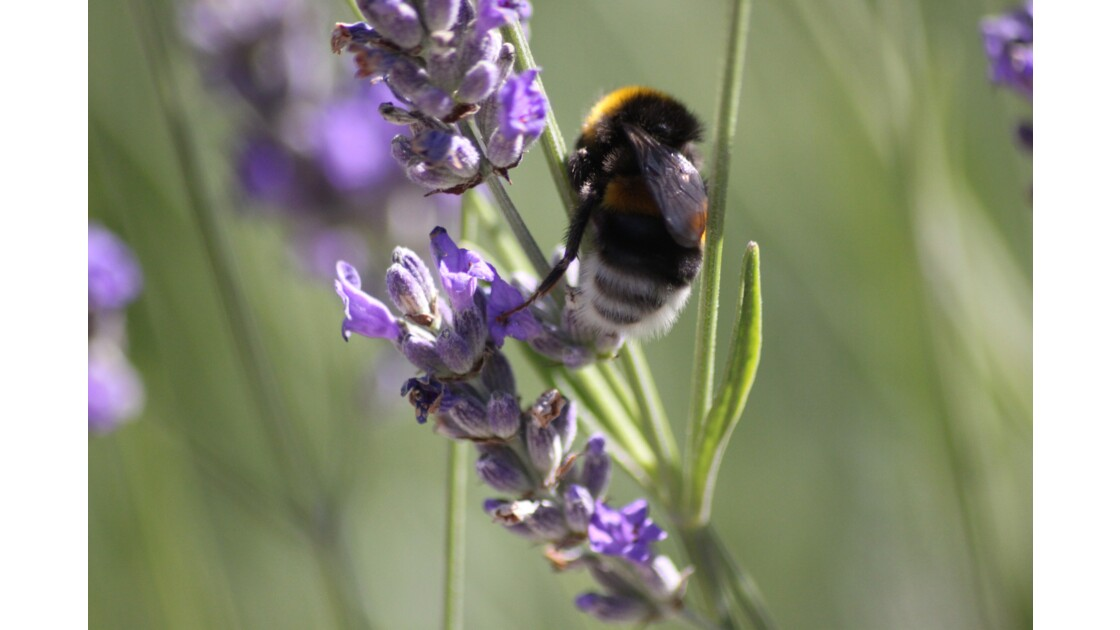 Papillons et insectes dans la lavande