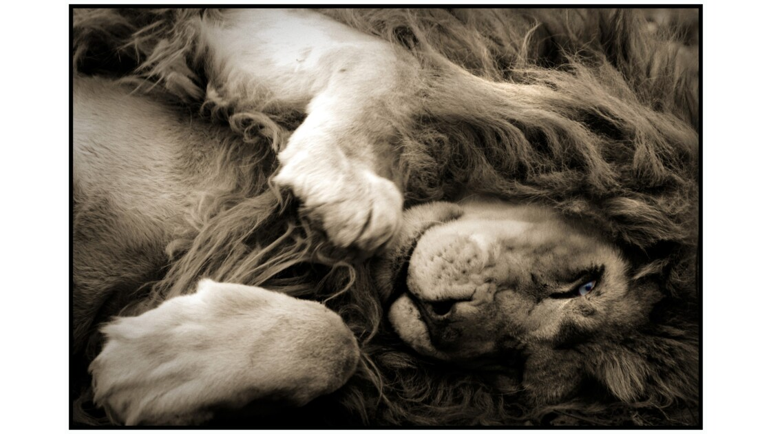 Lumigny-Nesles - Parc des Félins, Lion blanc (panthera leo krugeri)