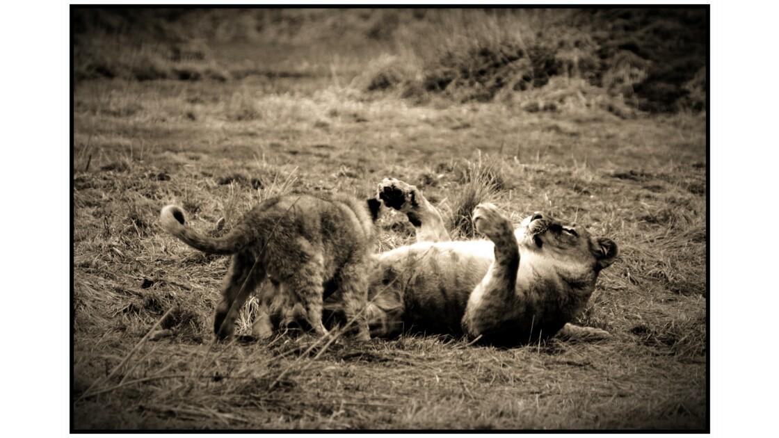 Lumigny-Nesles - Parc des Félins, Lions de l'Afrique de l'Est (panthera leo)