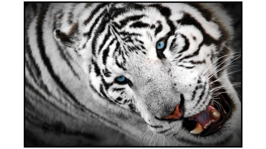 Lumigny-Nesles - Parc des Félins, Tigre blanc (panthera tigris sp.)