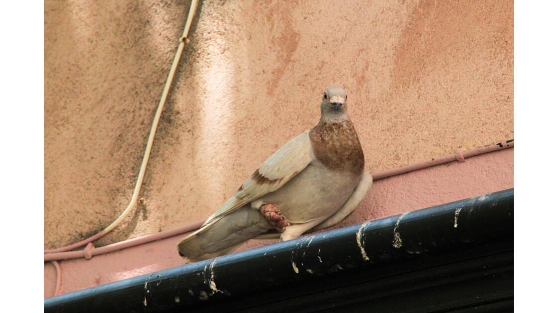 Mr le Pigeon sur sa gouttière