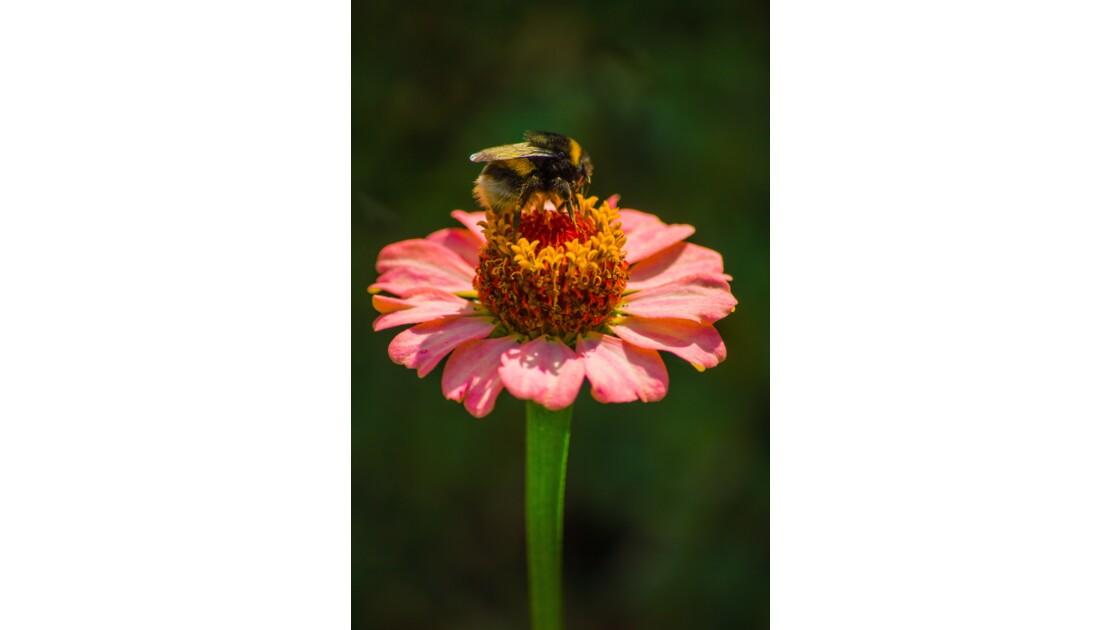 Le temps des fleurs ... et de la pollinisation