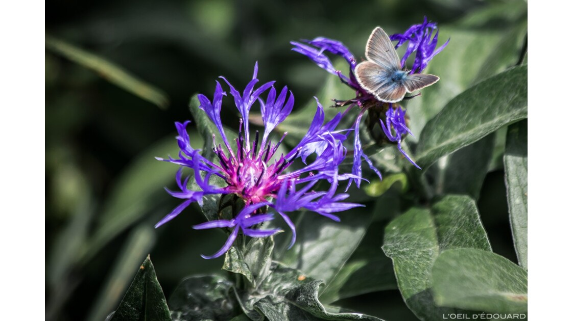 Bleuet des Montagnes et papillon Argus