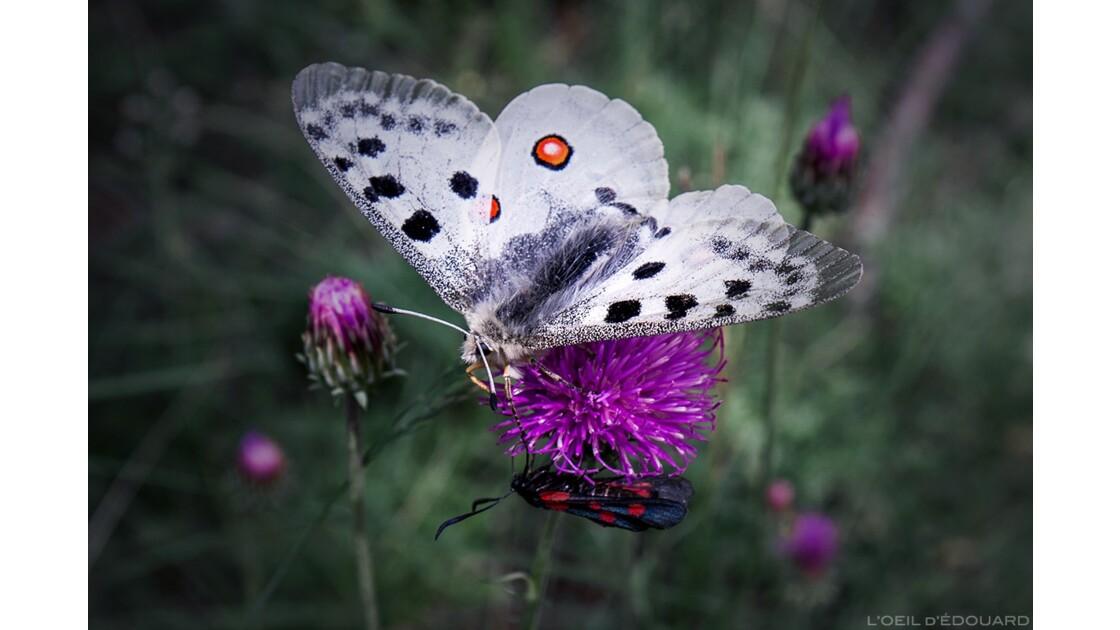 Papillon Apollon et Zygène sur une Cirse Hétérophylle