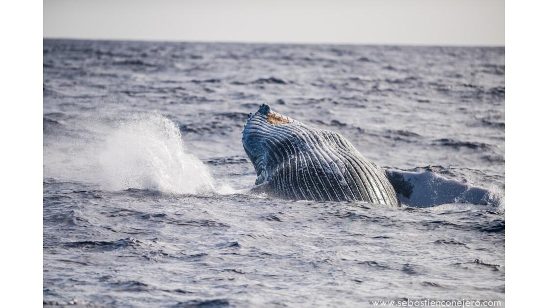 Saison des baleines à bosse - les parades amoureuses