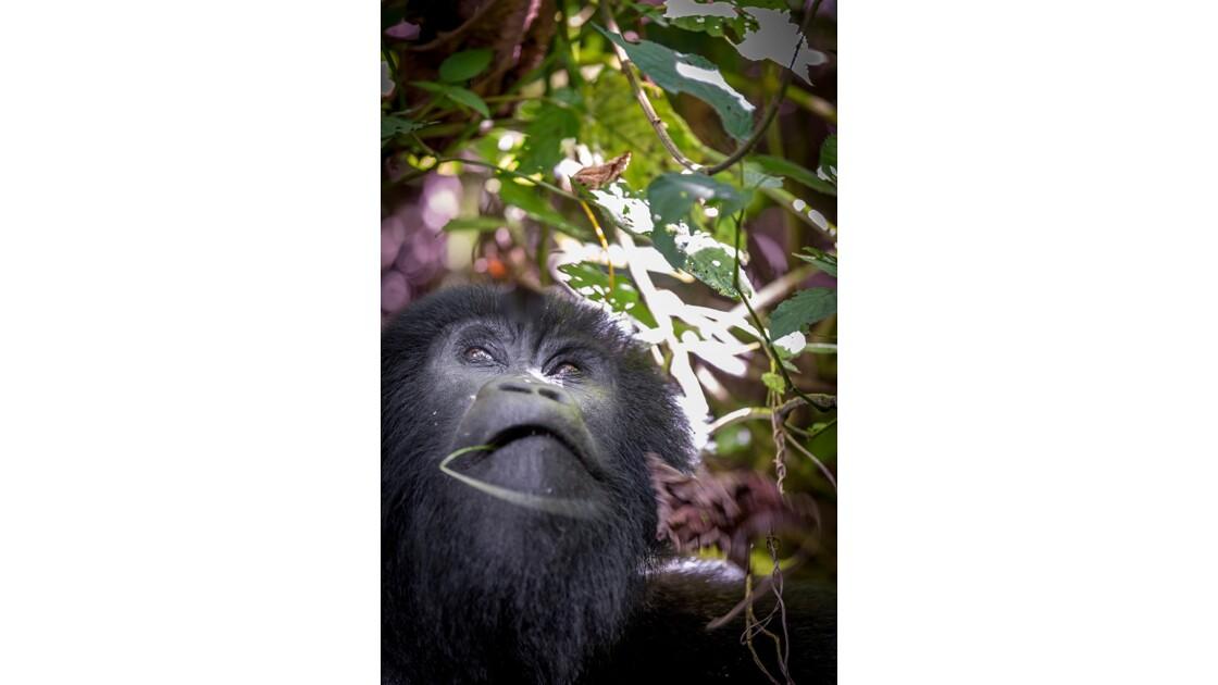 Sur les traces des Gorilles des Montagnes