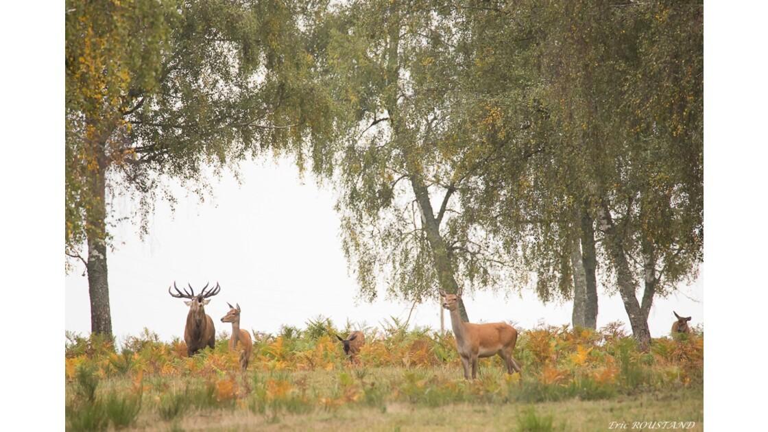 Brame du cerf en Auvergne 2017