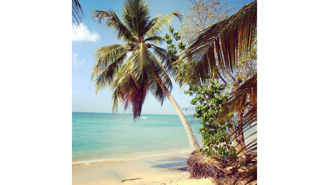 Cocotier sur la plage de l'Anse Désert