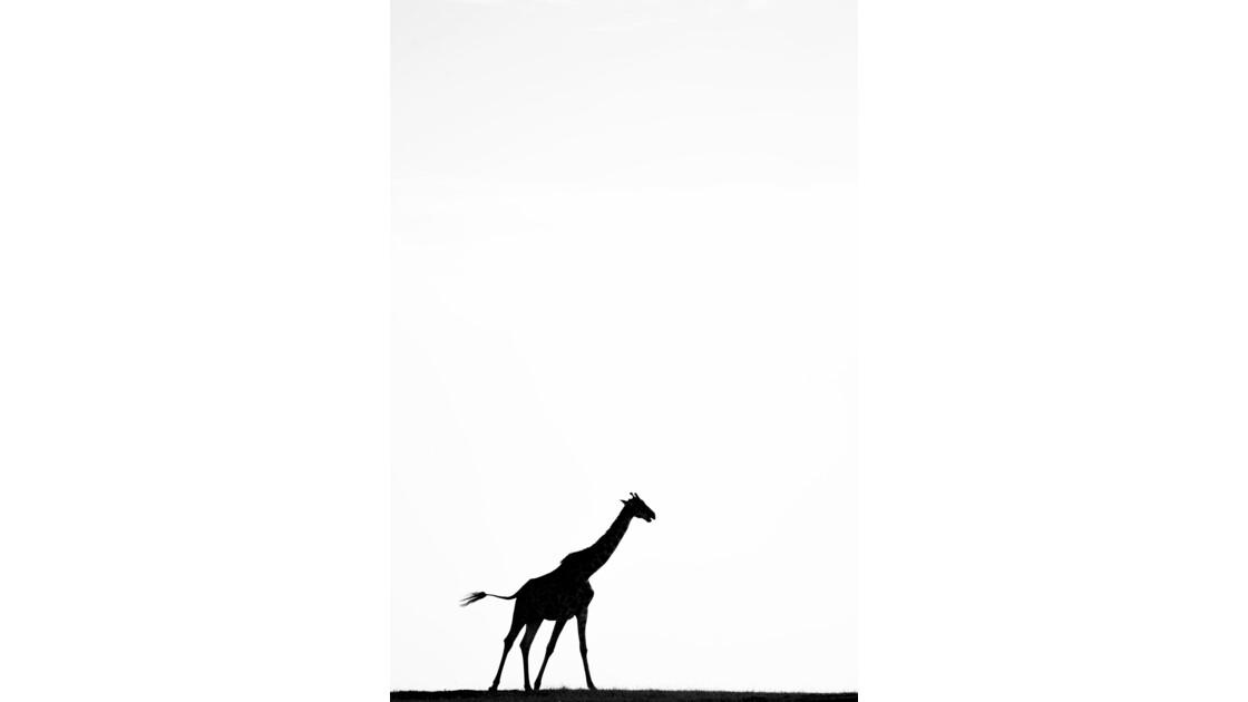 Girafe au vent