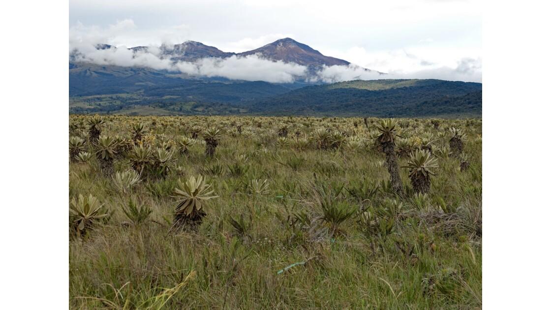 Colombie parc natural del Puracé pâramo parsemé de frailejones 1