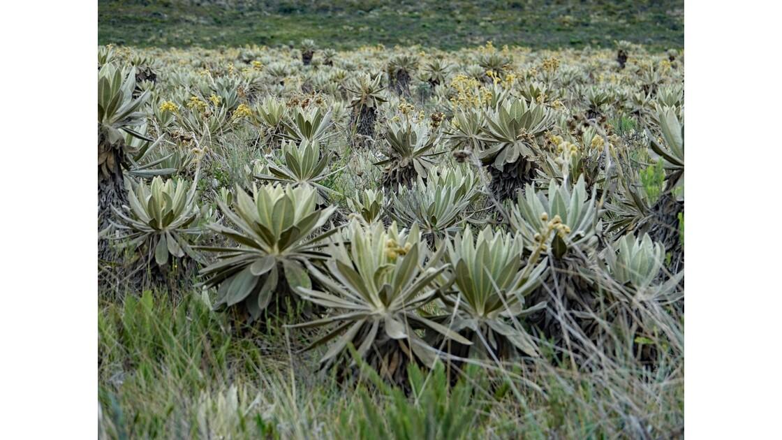 Colombie parc natural del Puracé pâramo parsemé de frailejones 2