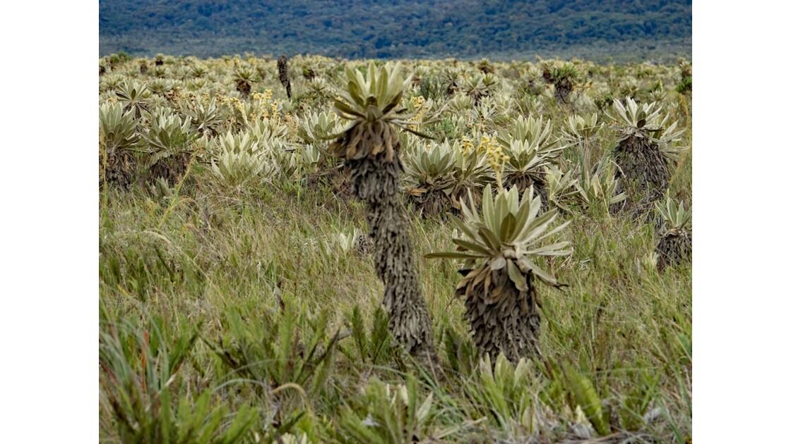 Colombie parc natural del Puracé pâramo parsemé de frailejones 3