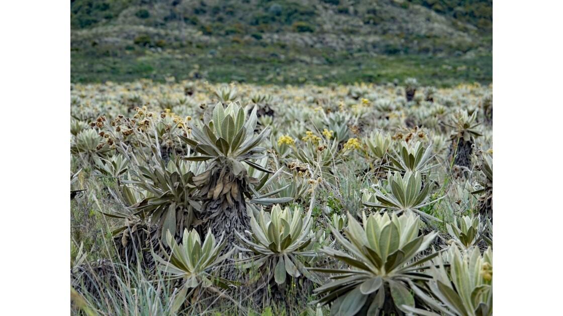 Colombie parc natural del Puracé pâramo parsemé de frailejones 4