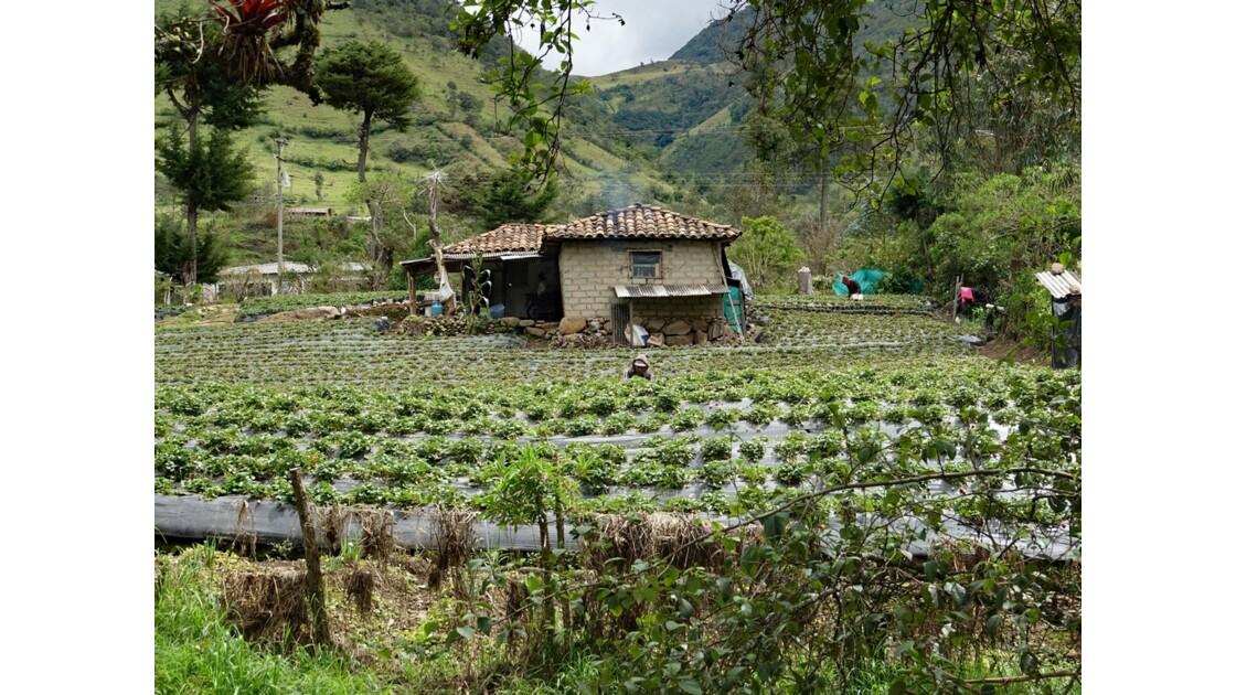 Colombie Silvia récolte des fraises 2