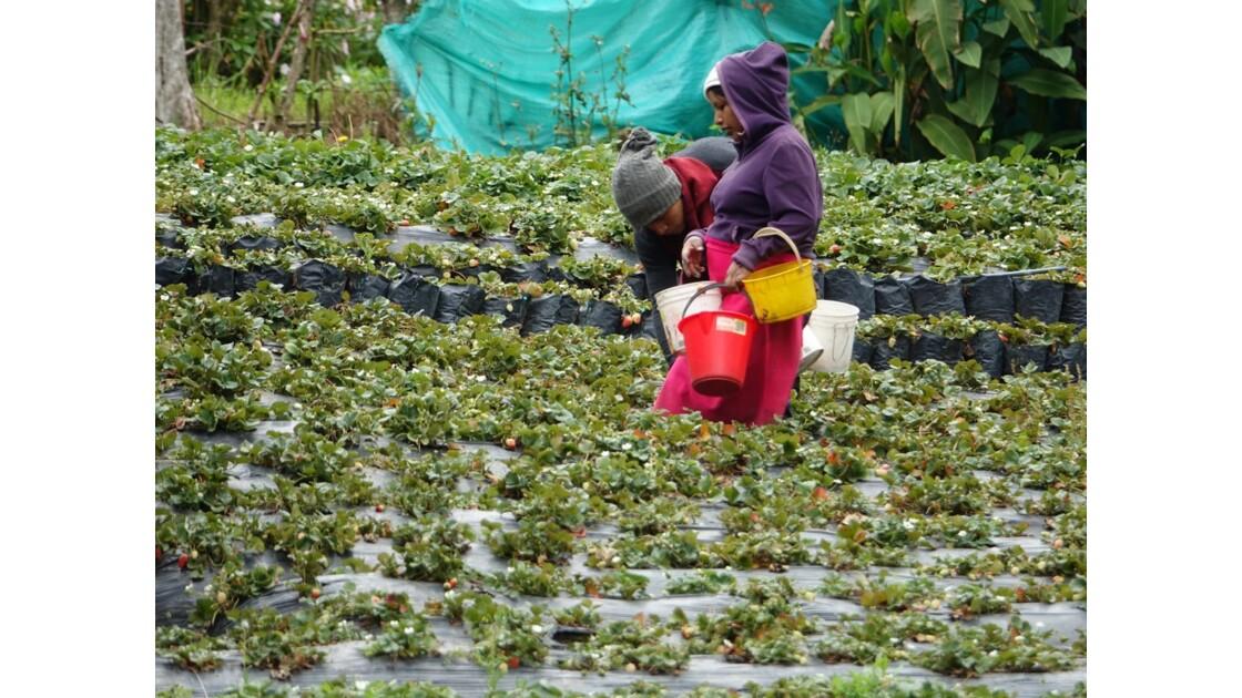 Colombie Silvia récolte des fraises 4