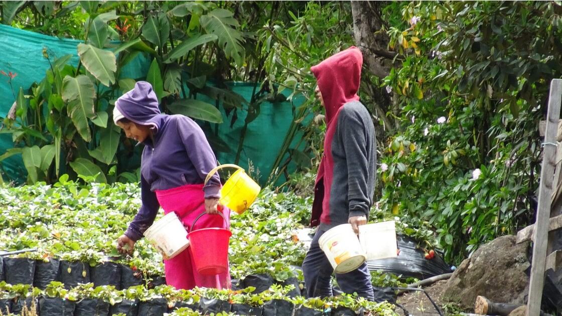 Colombie Silvia récolte des fraises 5