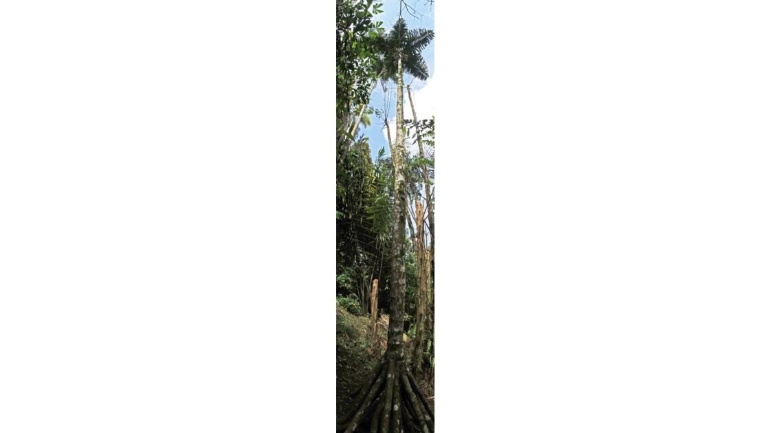 Colombie Jardin Botanico del Quindio Palmier Caminadora 2