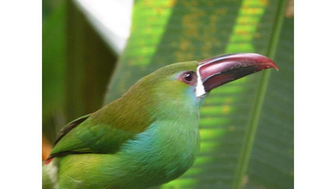 Colombie Jardin Botanico del Quindio Toucan 2